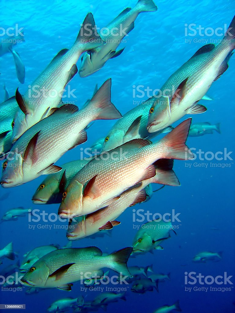 Silver Bream royalty-free stock photo