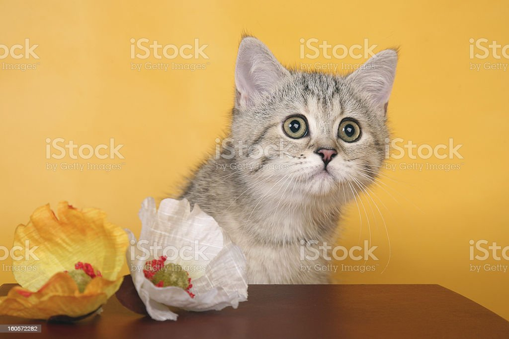 Silver british cat with green eyes next to wooden chest royalty-free stock photo