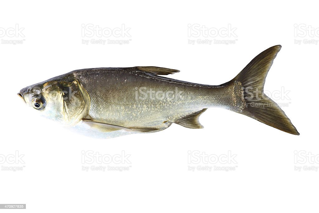 Silver Carp Fish (Hypophthalmichthys Molitrix) isolated. stock photo