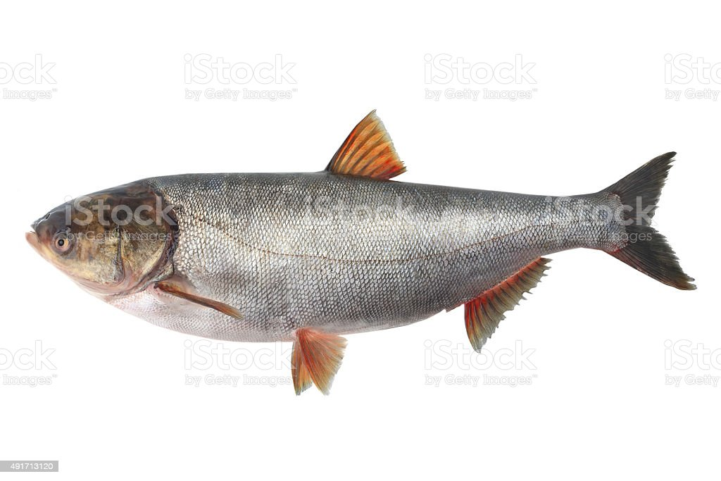 silver carp stock photo