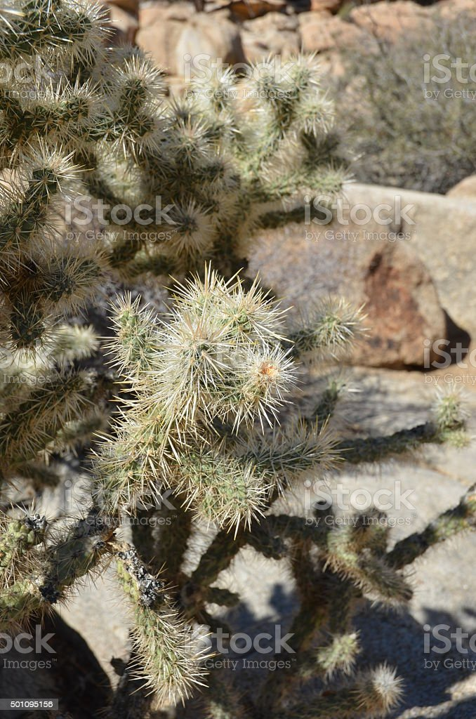 Silver Cholla (Cylindropuntia echinocarpa) Cactus in Joshua Tree National Park royalty-free stock photo