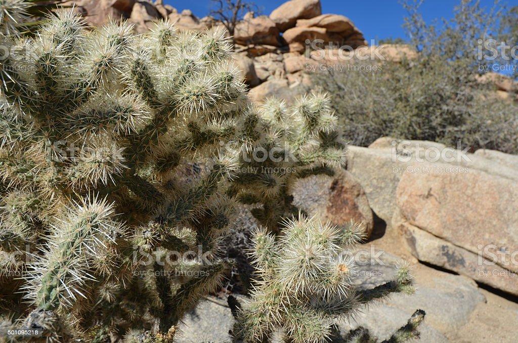 Silver Cholla (Cylindropuntia echinocarpa) Cactus in Joshua Tree National Park royalty-free stock photo