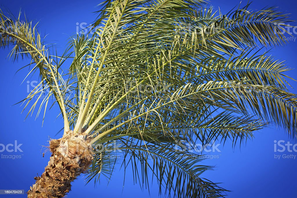Silver Date Palm royalty-free stock photo