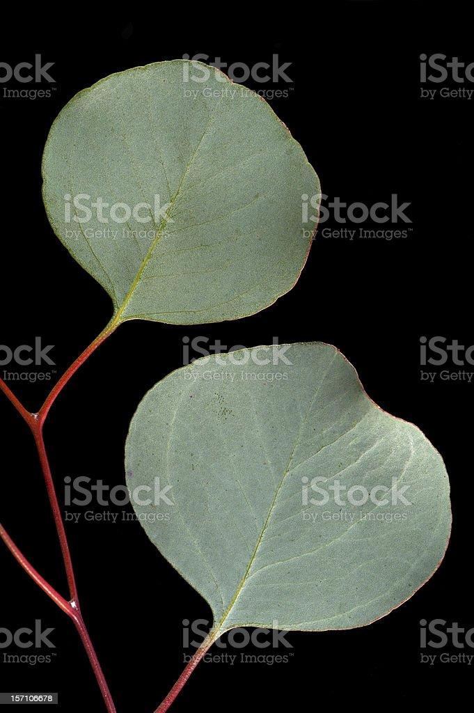 Silver Dollar Eucalyptus  Branch on Black Background royalty-free stock photo