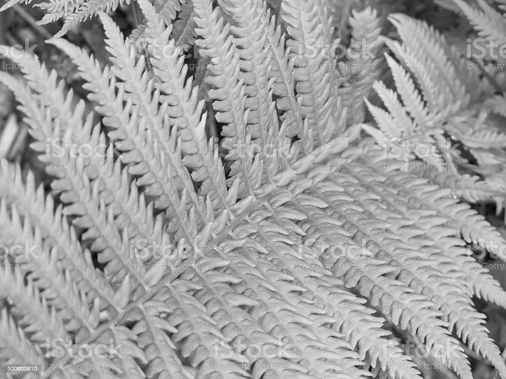 Silver Fern Background stock photo