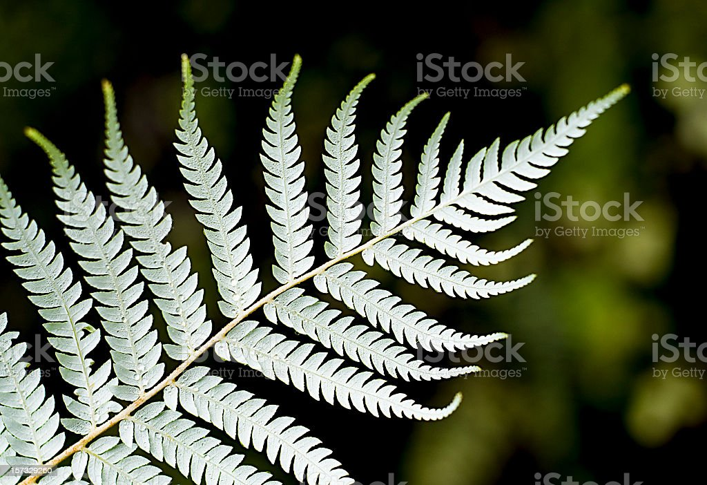 Silver Fern Close-Up stock photo