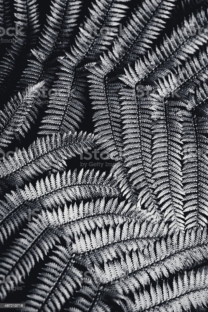 Silver fern leaf in black and white stock photo