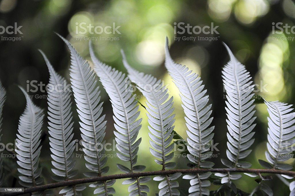 Silver Fern royalty-free stock photo