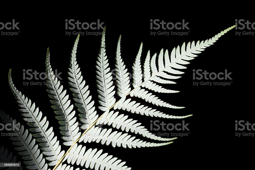 Silver fern stock photo