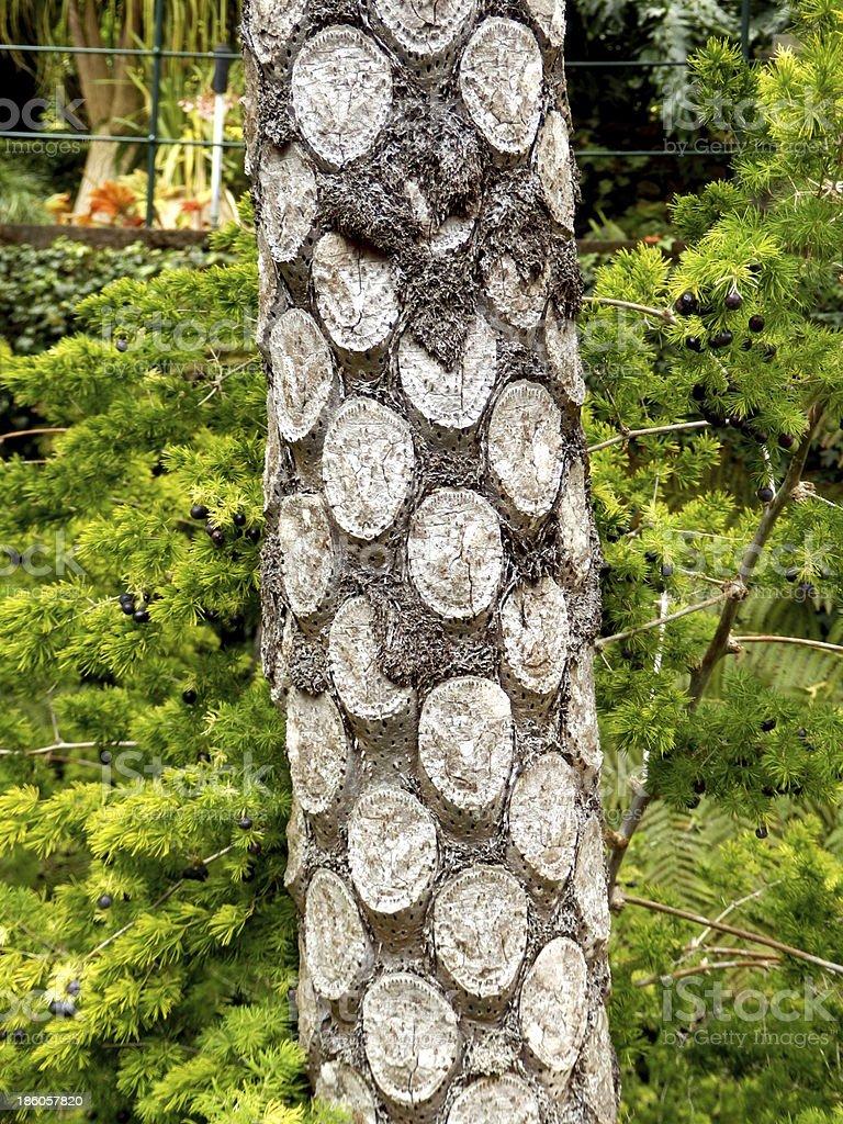 Silver Fern Tree royalty-free stock photo