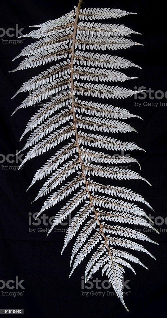 Silver Fern Underside stock photo