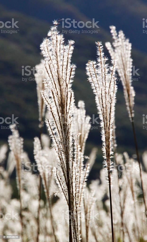 Silver grass / Golden reeds stock photo