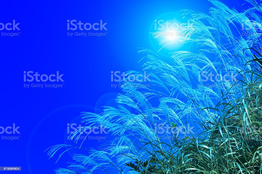 Silver grass stock photo