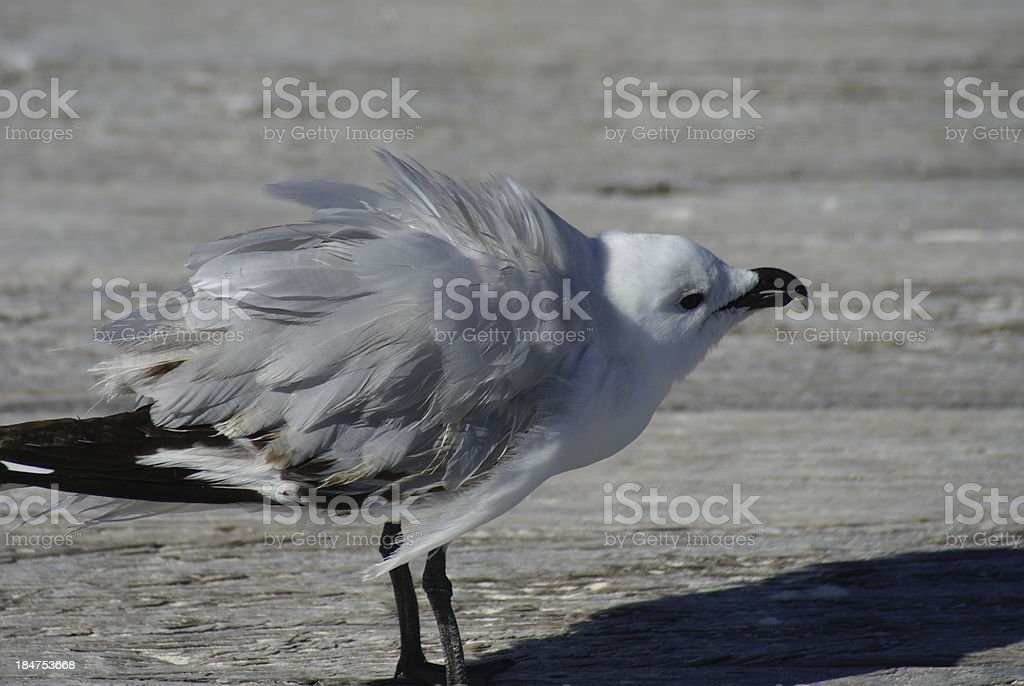 Silver gull chick shake royalty-free stock photo