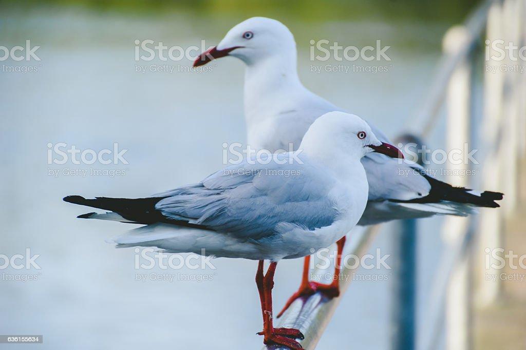 Silver gulls at at the wharf stock photo