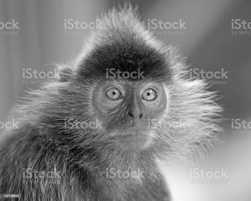 Silver leaf monkey royalty-free stock photo