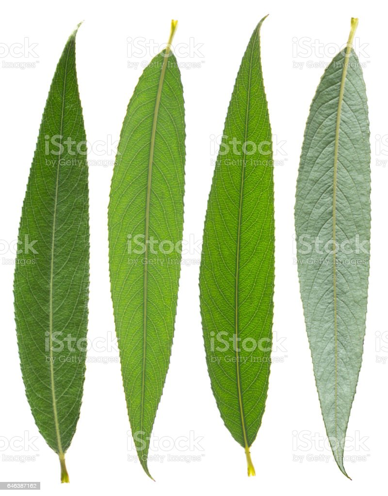silver leaf of willow angustifolia isolated stock photo