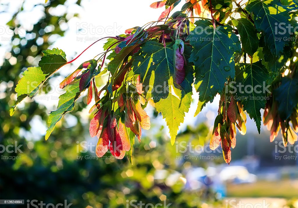 Silver maple, Acer saccarinum stock photo