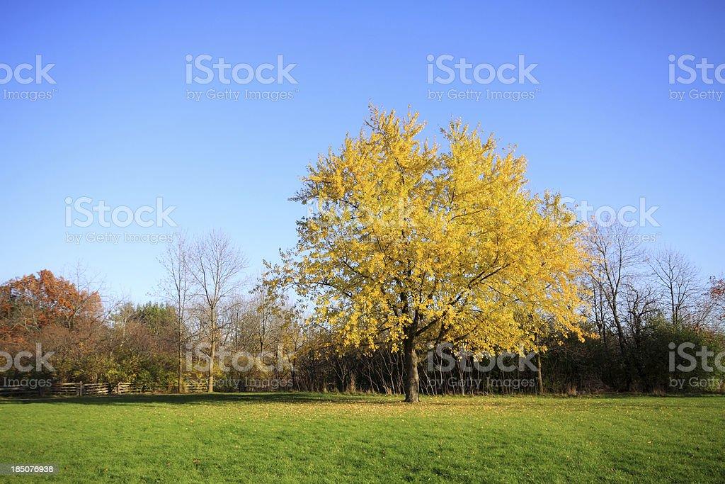 Silver Maple in Autumn stock photo