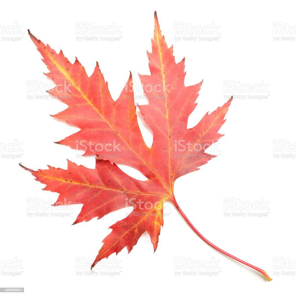 Silver maple leaf in Autumn colour stock photo