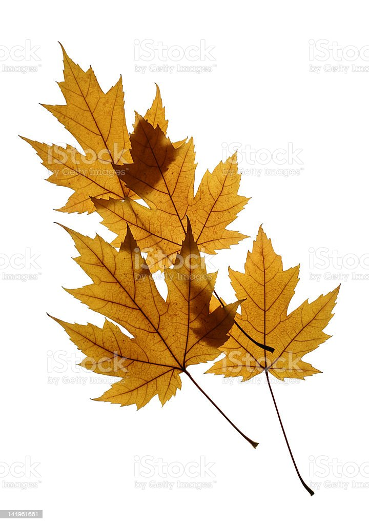 Silver Maple Leaves Isolated on White stock photo