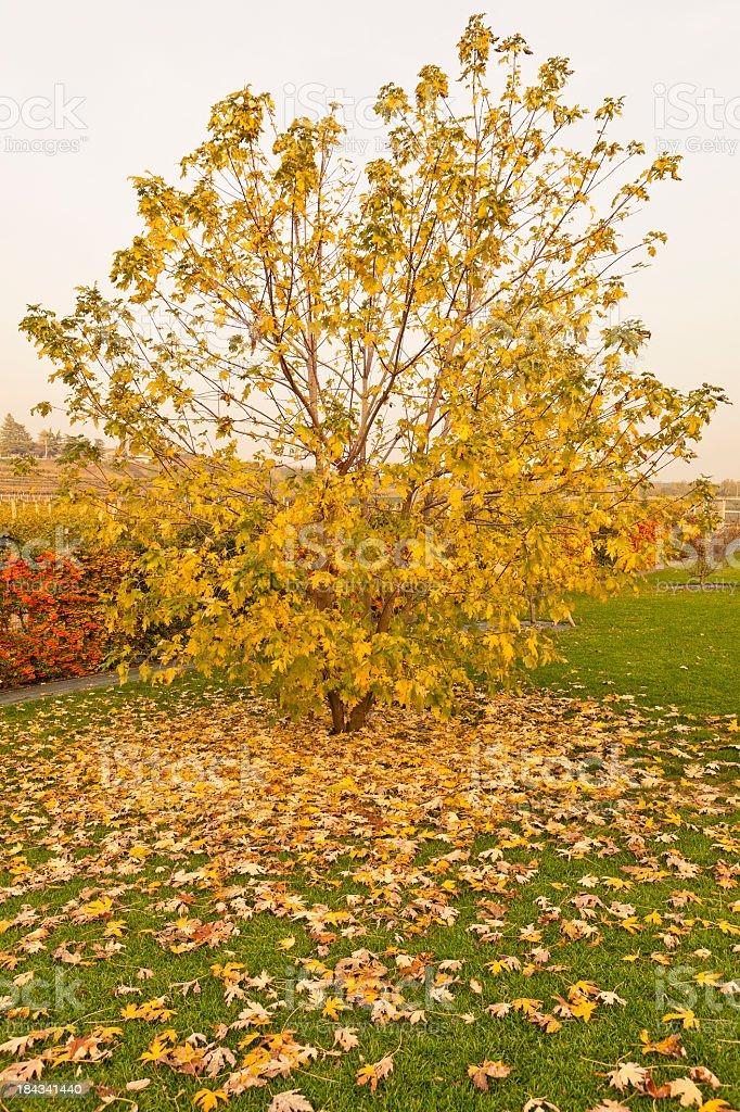 Silver Maple (Acer saccharinum) stock photo