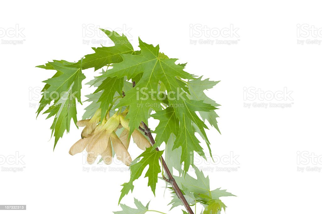 Silver Maple Tree Branch With Seeds Isolated stock photo