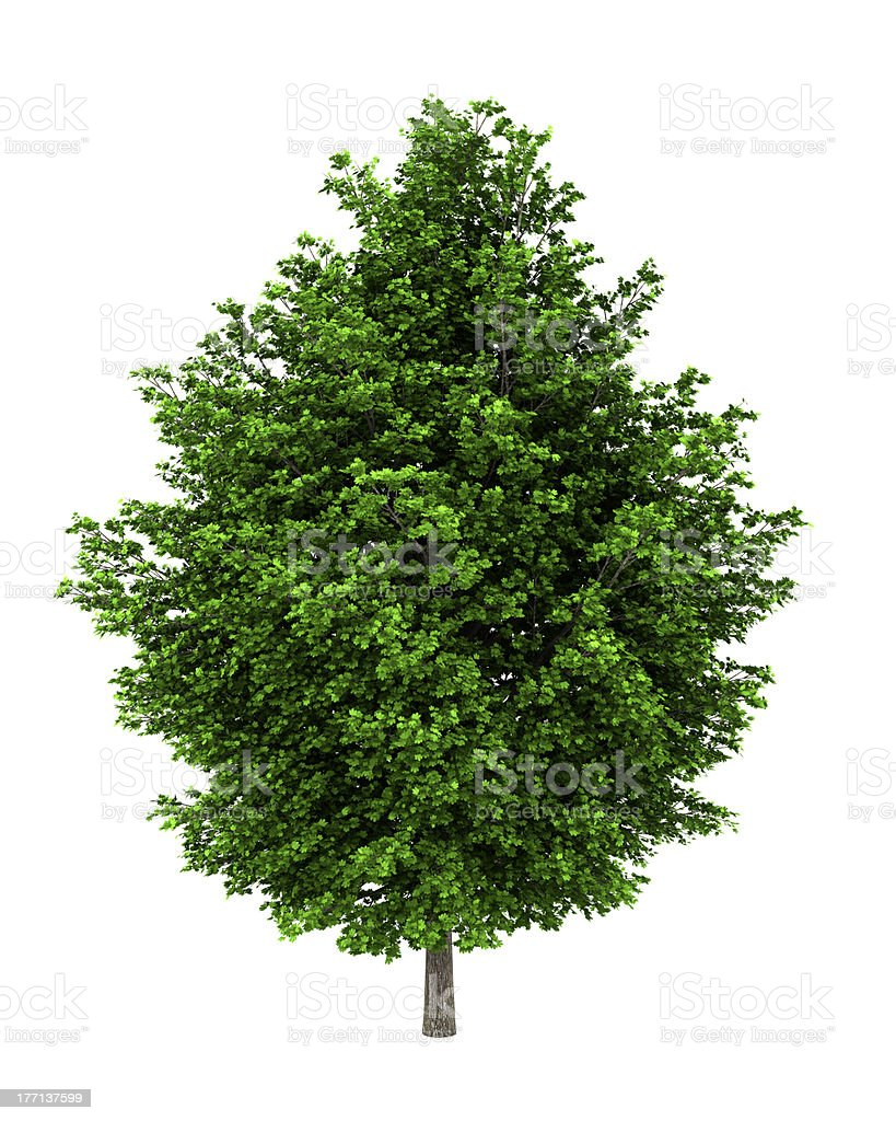 silver maple tree isolated on white background stock photo