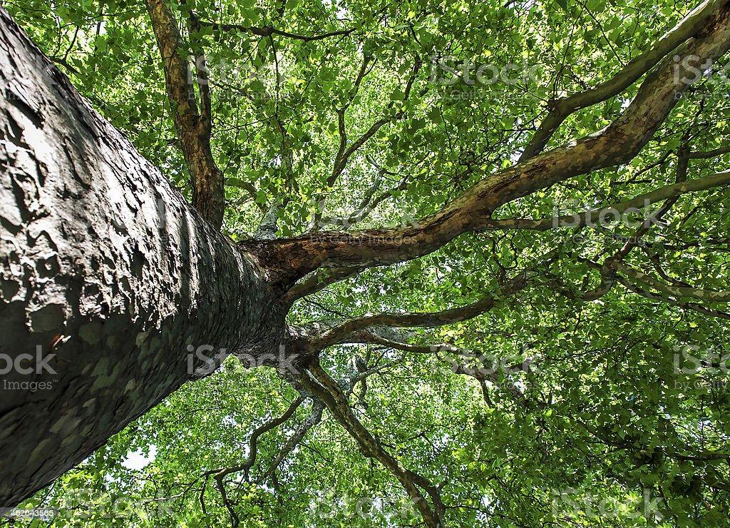 Silver Maple Tree stock photo