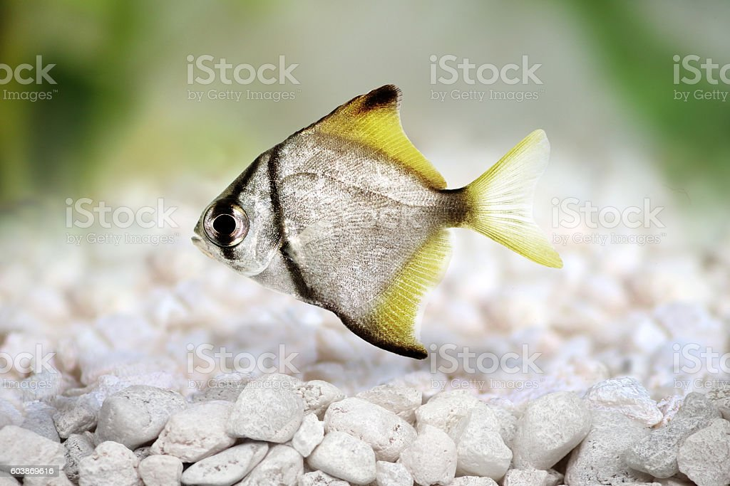 silver moonfish Monodactylus argenteus Aquarium fish Malayan angel isolated stock photo