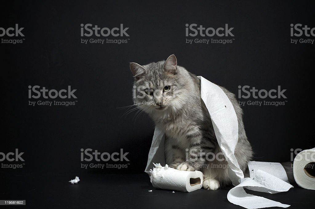 Silver Norwegian Forest Cat royalty-free stock photo