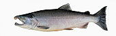 Silver salmon, Alaska