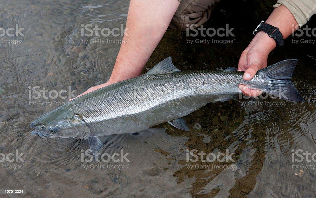 Silver Salmon Caught Fly-fishing in Alaska stock photo