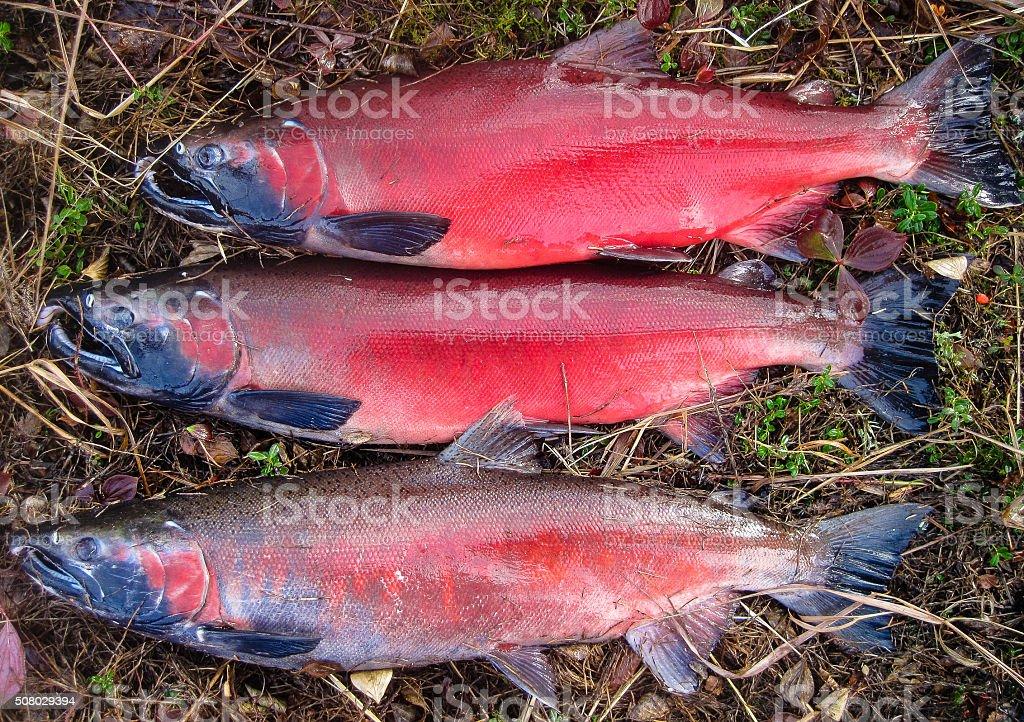 Silver (coho) salmon stock photo