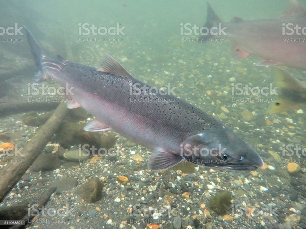 Silver Salmon stock photo