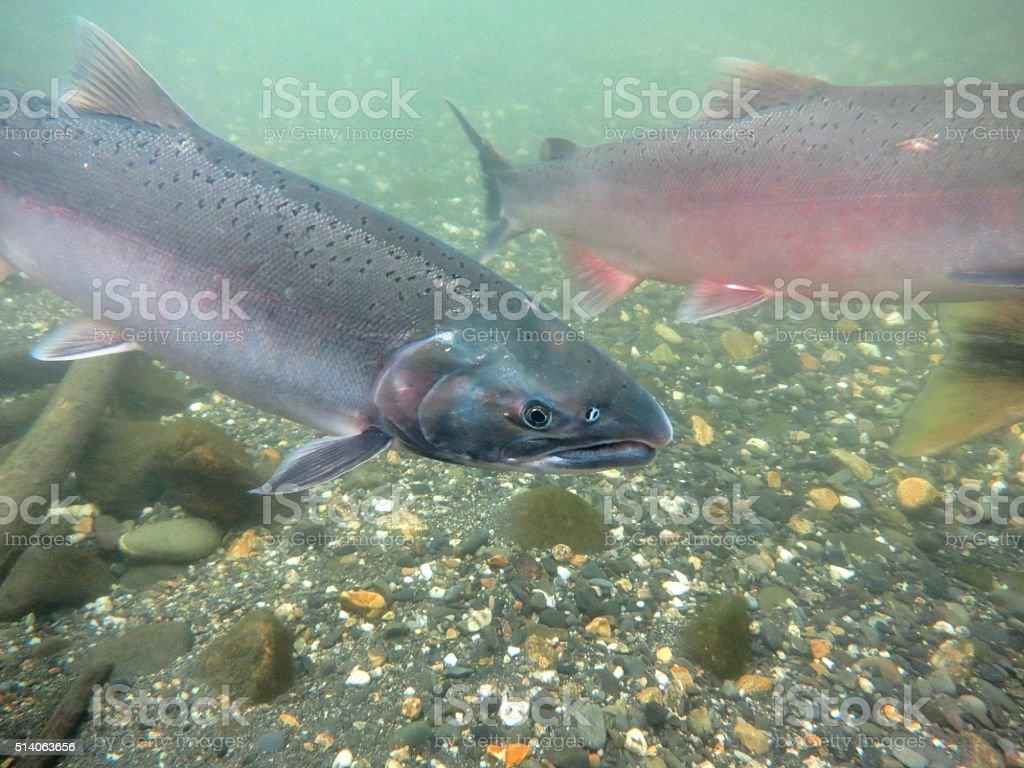 Silver Salmon stock photo