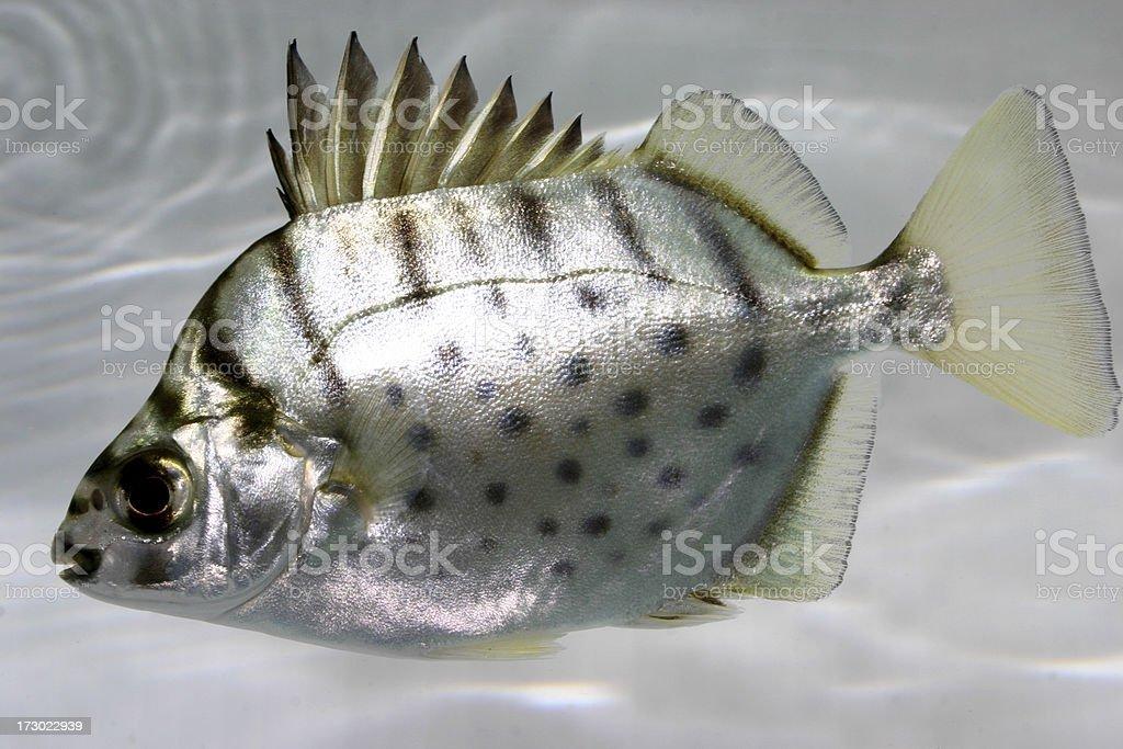 silver scat stock photo