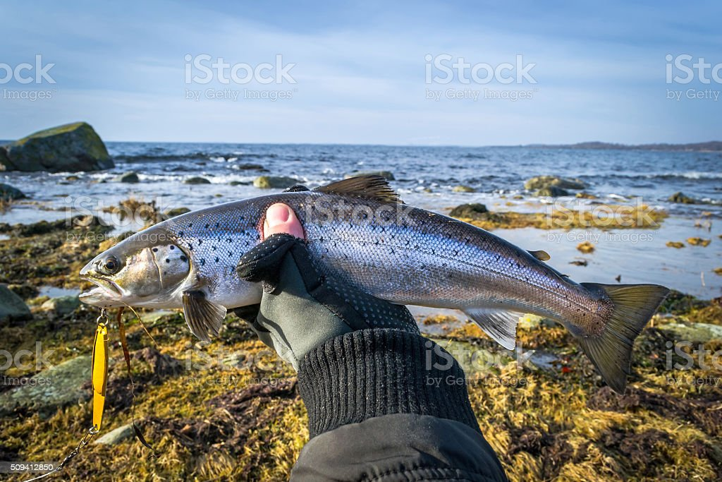 Silver sea trout in angler's hand stock photo