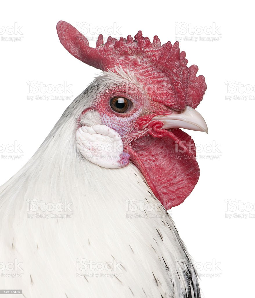 Silver Spangled Hamburg rooster (1 year old) royalty-free stock photo