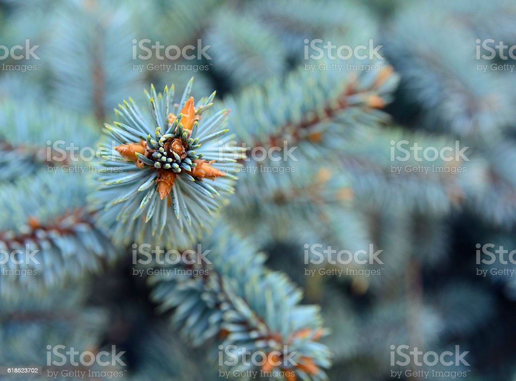 Silver spruce branches for Christmas or New Year background. stock photo