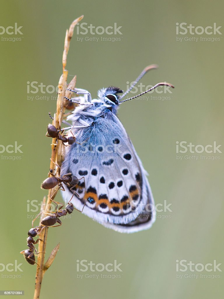 Silver Studded Blue Butterfly in symbiosis with red ant stock photo