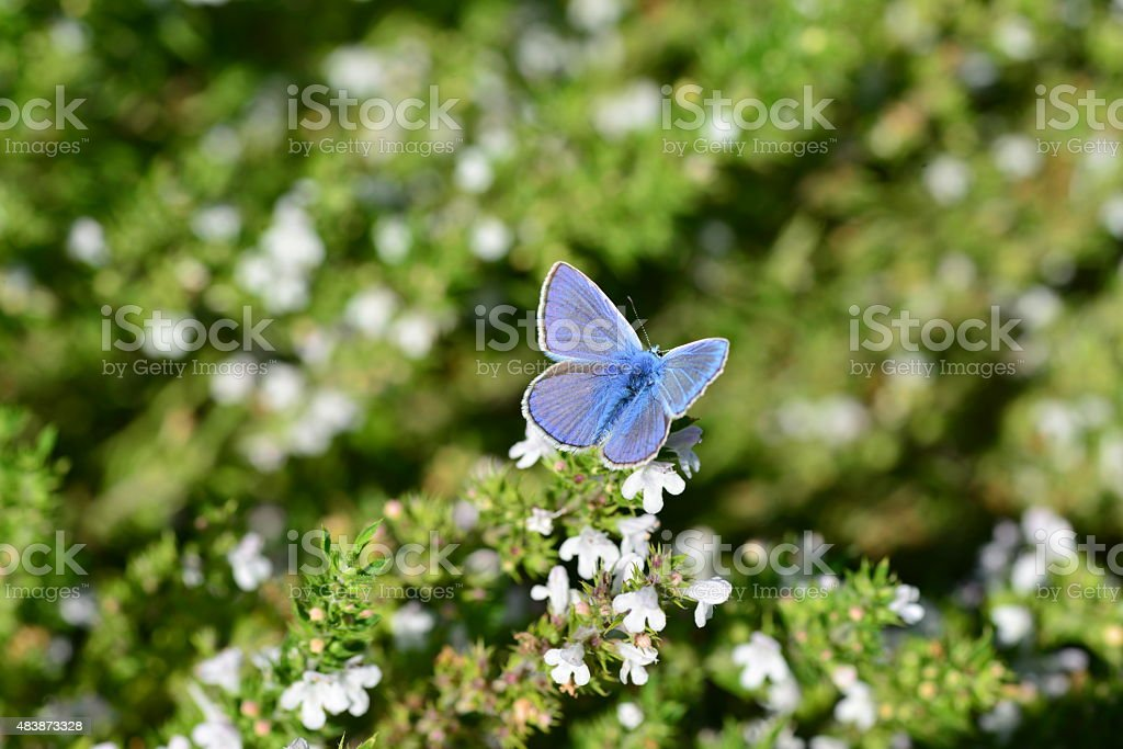 Silver Studded blue butterfly, U.K. stock photo