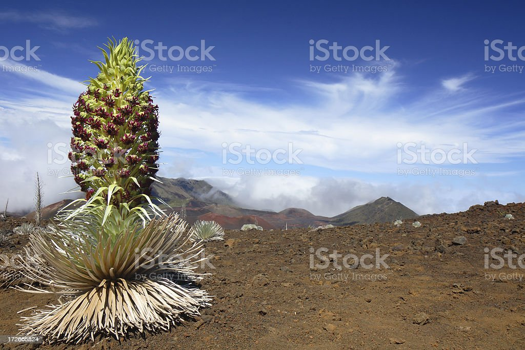 Silver Sword in the Haleakala Crater - Maui royalty-free stock photo