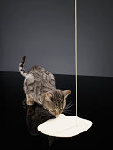 Silver tabby cat drinking cream from floor poured from above