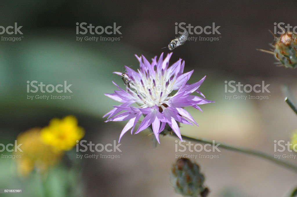 Silver Thistle stock photo