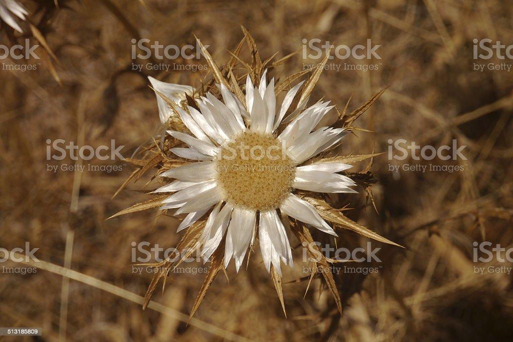 Silver thistle stock photo