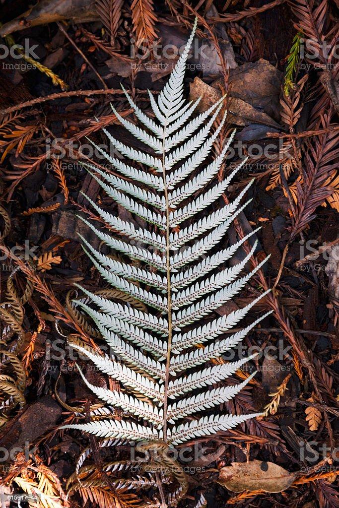 Silver Tree Fern Leaf stock photo