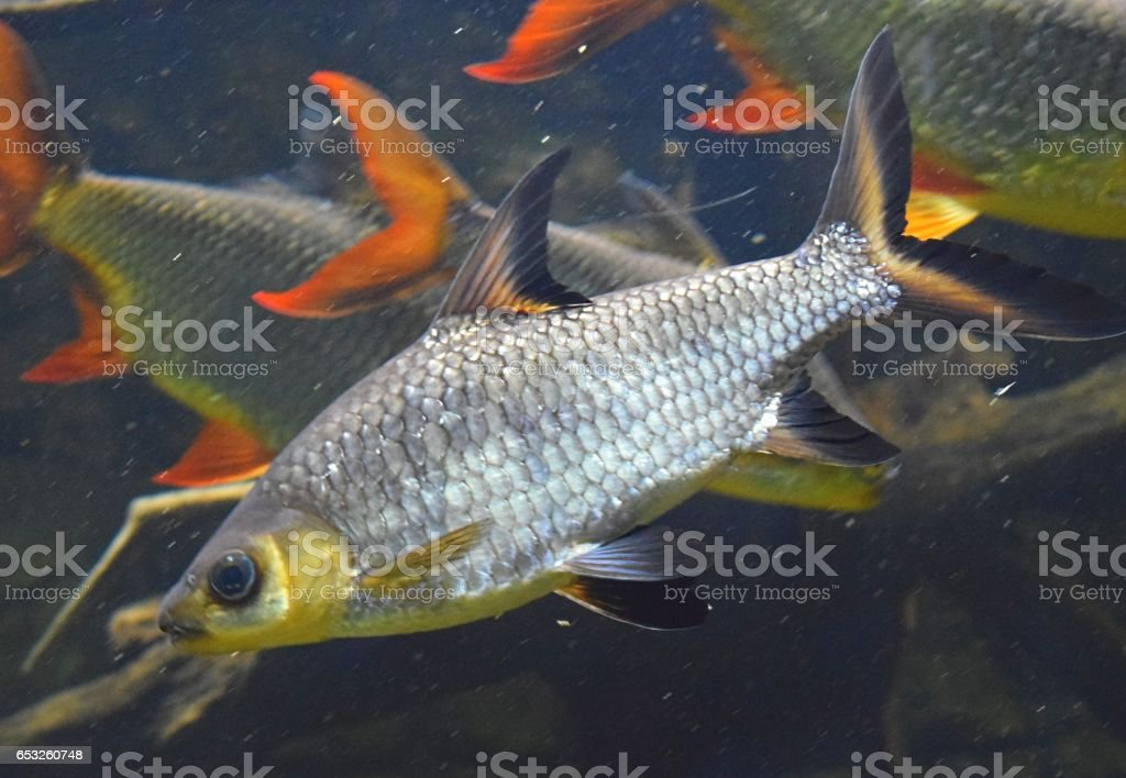 silver tricolour shark minnow tropical fish close up in tank stock photo