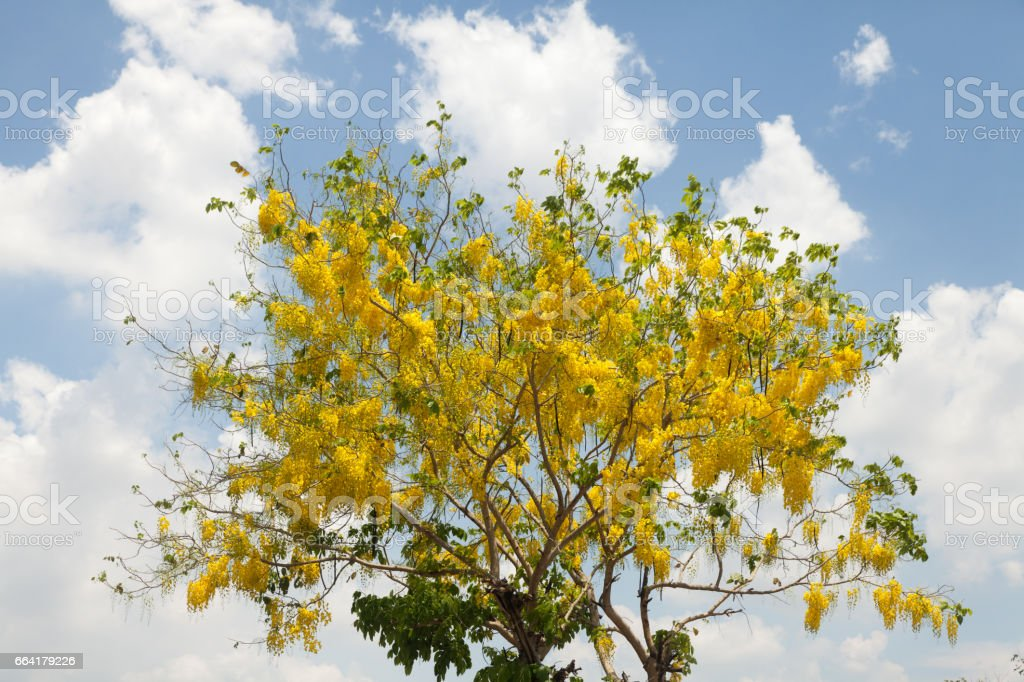 Silver trumpet tree (Tree of gold,Paraguayan silver trumpet tree) in the garden stock photo