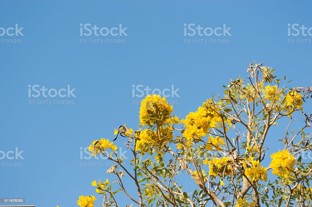 Silver Trumpet Tree or Tree of Gold stock photo